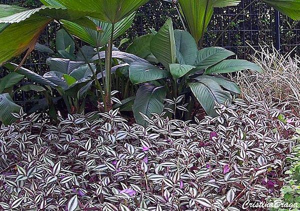 Flores e Folhagens Lambari-Tradescantia-zebrina-1-2