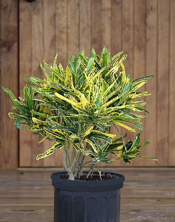 plantvinecodiaeum-variegatum-eleanor-roosevelt-2