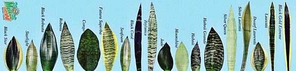 perfildaplanta Sanseveria boaddd