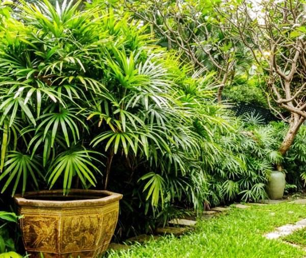 palmeira-rafis-mulheruol