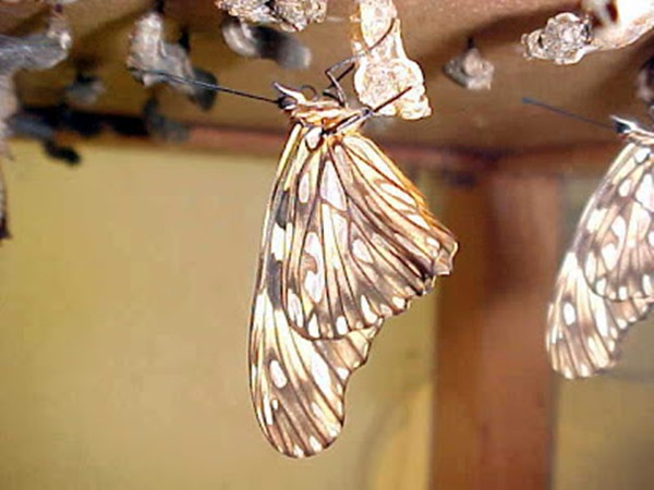 borboletasbrPupas e adultos1