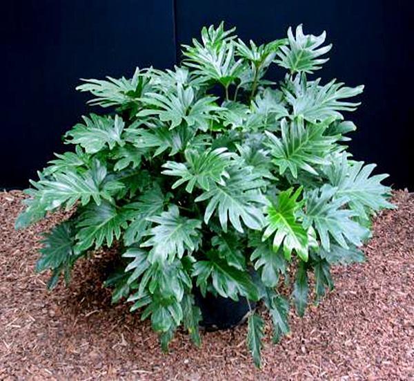 marciaPhilodendron-Xanadu