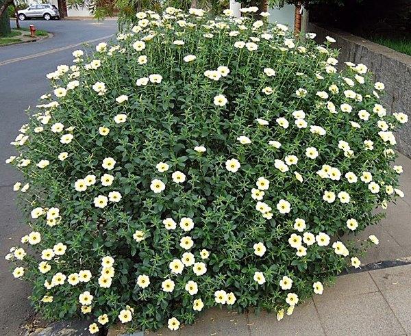 Flor do guaruj