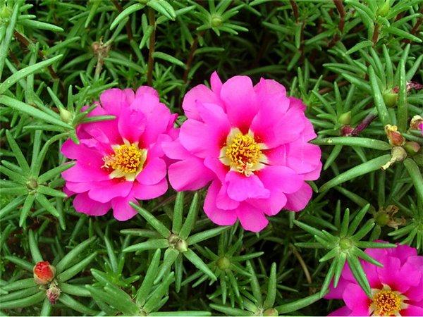 onzehoras-portulaca-grandiflora