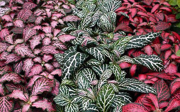 acacia-garden-center-rio-de-janeiro-rj-planta-segura-para-pets-plantas-vasos-jardinagem-2