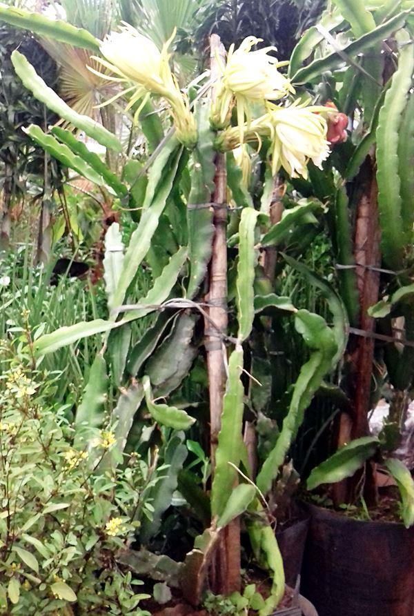 planta pitaya