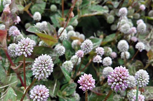 plantas fáceis de cuidar - tapete inglês