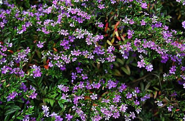 Plantas fáceis de cuidar - A Falsa Érica