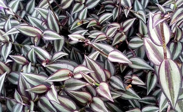 lambari planta