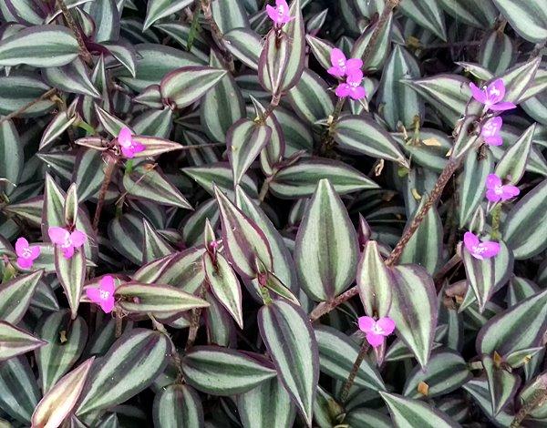 planta lambari 4