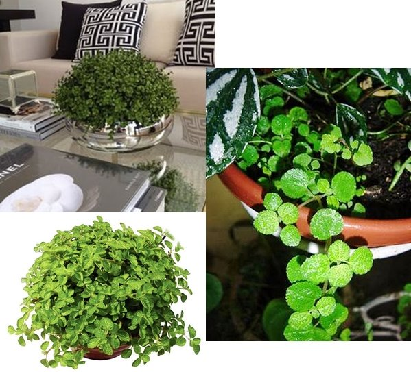 Plantas fáceis de cuidar - Dinheiro em Penca