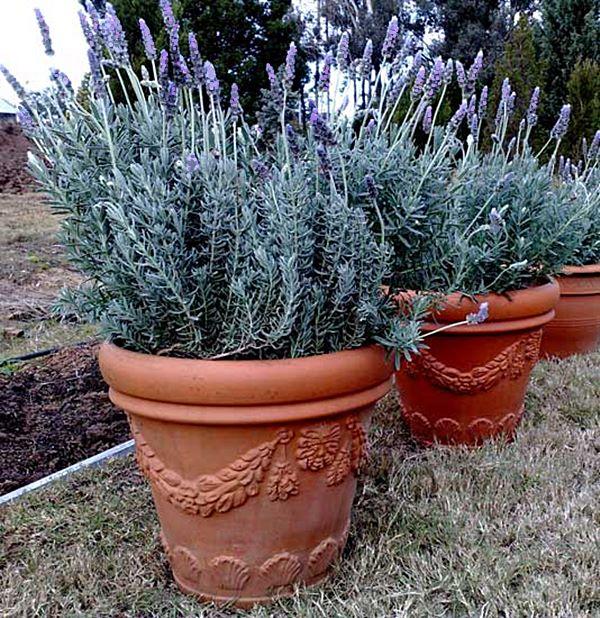 alfazema quintal vaso