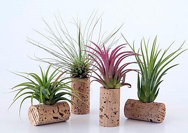 Plantas fáceis de Cuidar - A Tillandsia ou Air Plant
