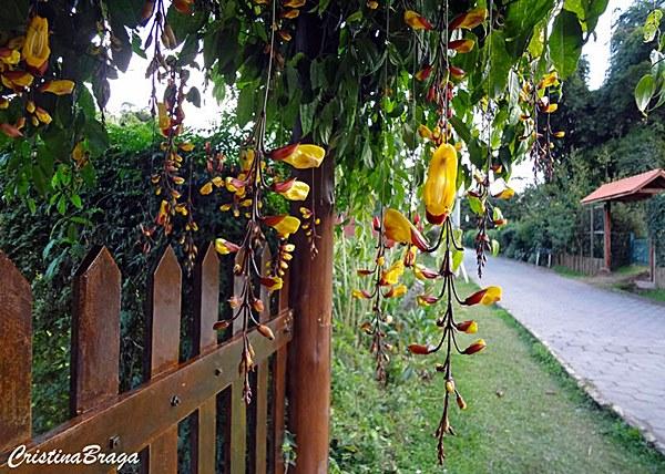 plantas fáceis de cuidar: trepadeira Sapatinho de Judia