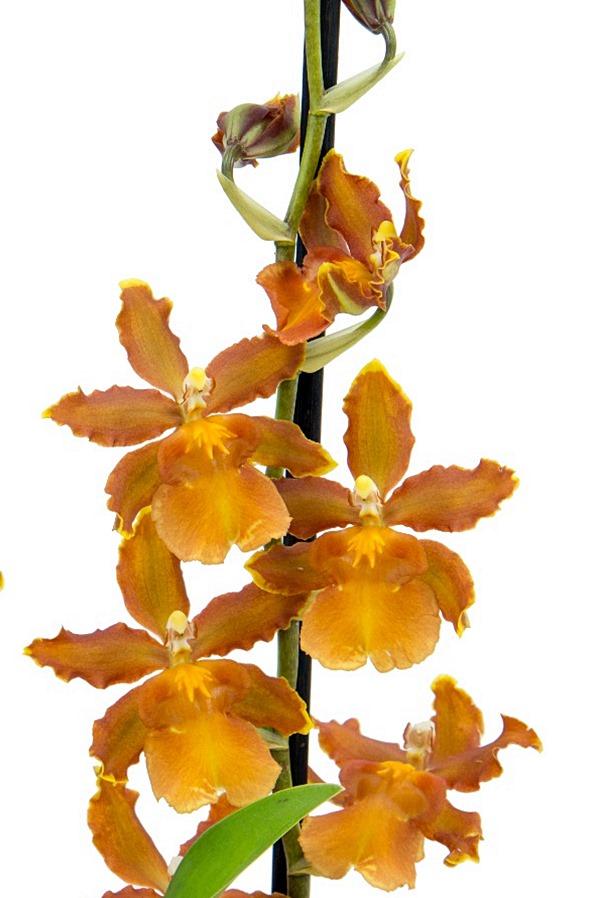 orquidea_hawaiianAA