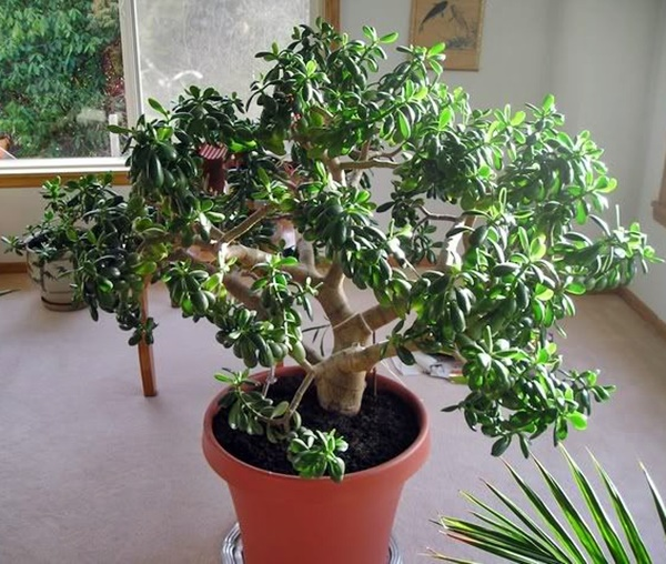planta crassula 4