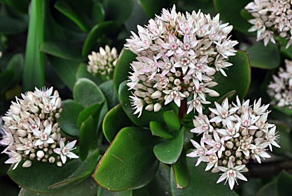 planta crassula 2