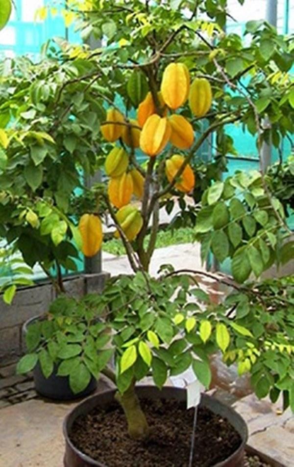 frutas na varanda Carambola