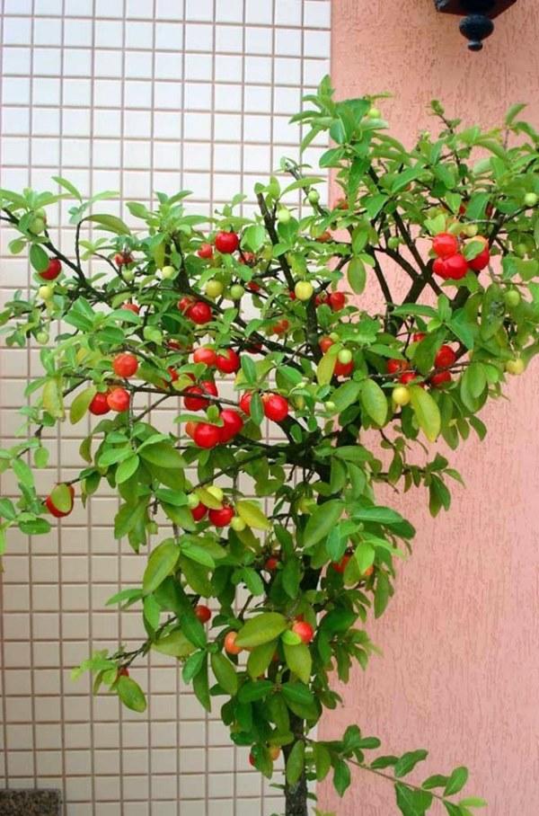 frutas na varanda - acerola