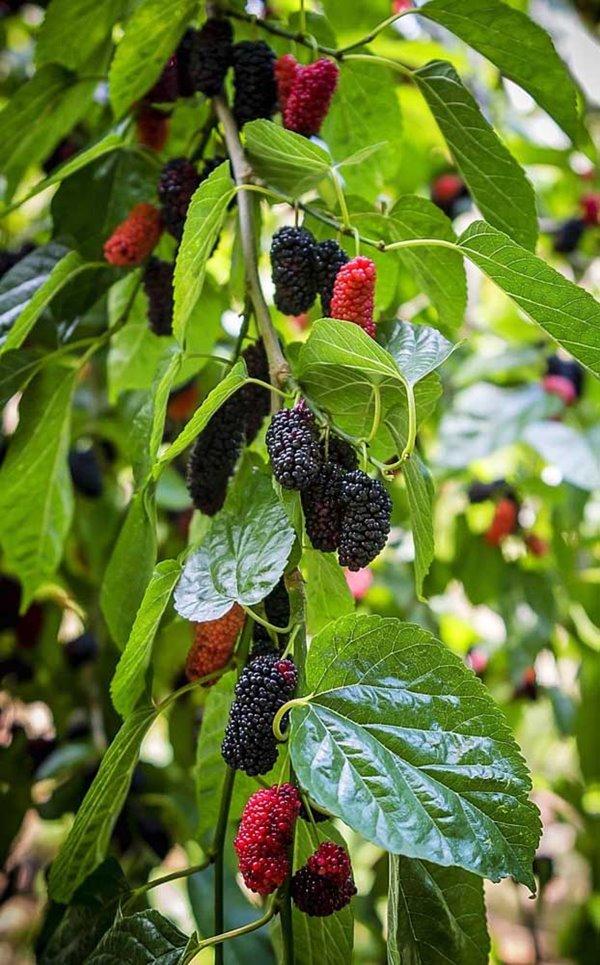 frutas na varanda amora