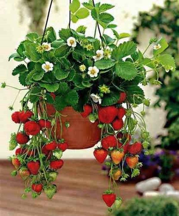 frutas na varanda - morango