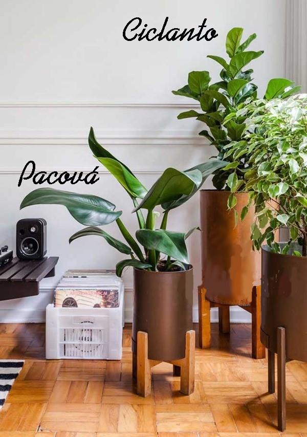 plantas dentro de casa - ciclanto e pacová