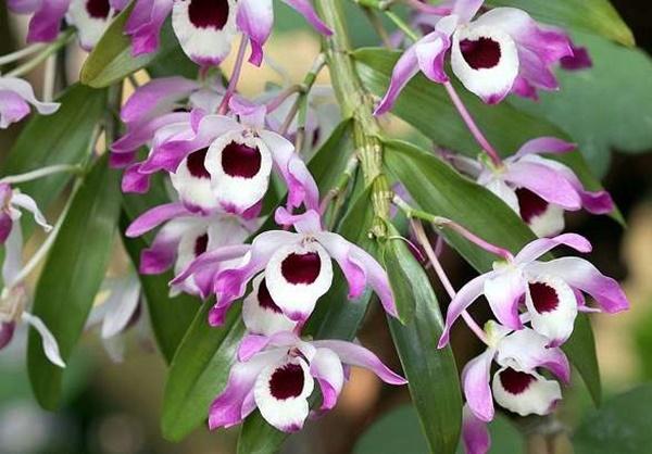 Orquidea Olho de boneca Dendobrium nobile