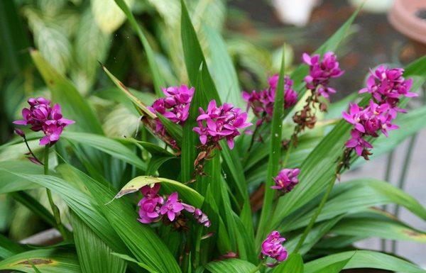 Orquídea-grapete-Spathoglottis-unguiculata