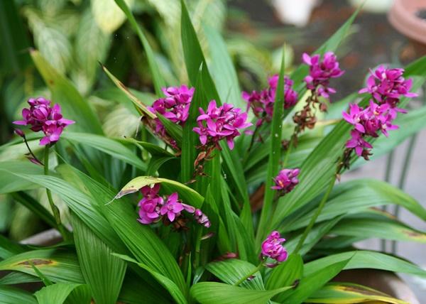 Orquídea-grapete - Spathoglottis unguiculata