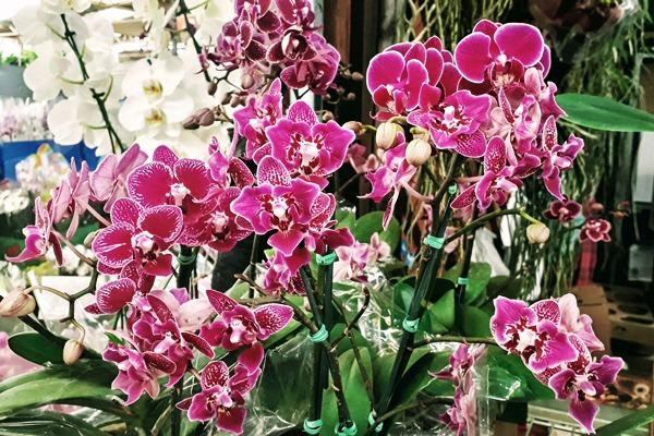 orquidea Falenopsis