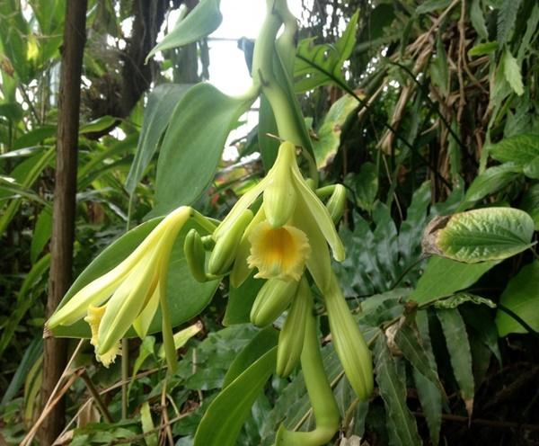 orquidea baunilha - Vanilla planifolia