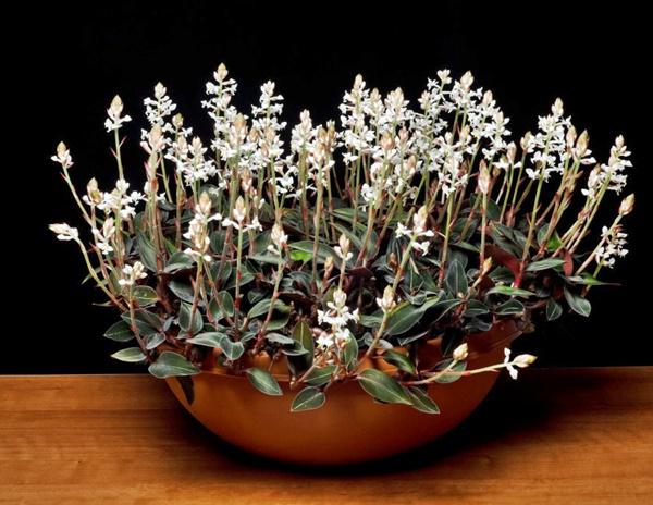 orquidea pipoca ludisia discolor em vaso