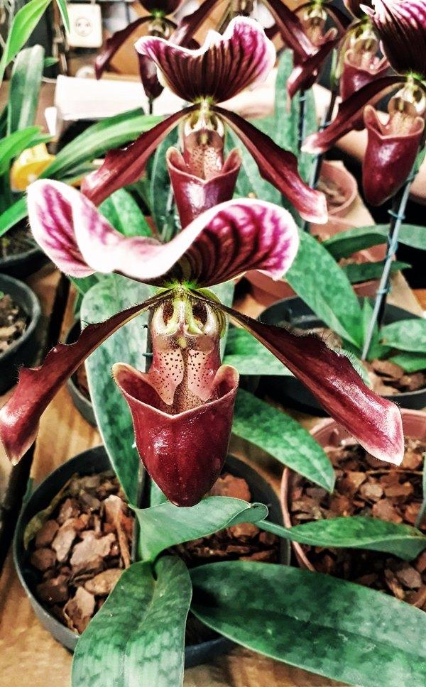 orquidea sapatinho - paphiopedilum leeanum