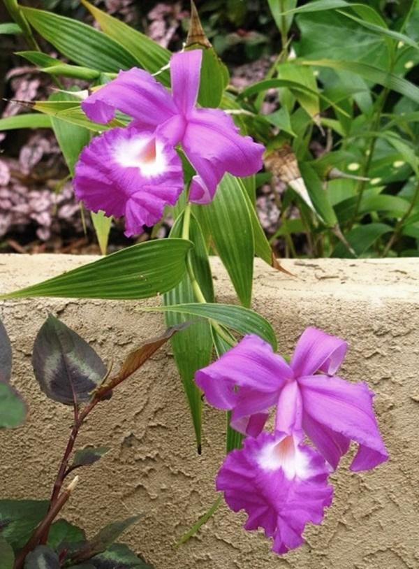 orquidea sobralia - Sobralia macrantha