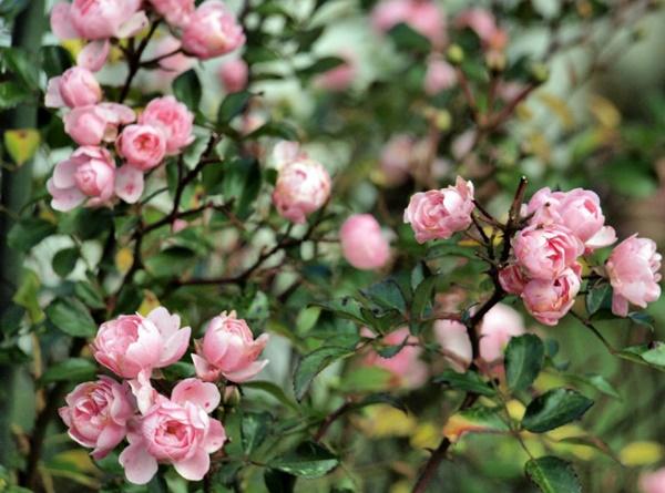 trepadeira rosa chinenses