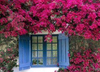 planta primavera pink
