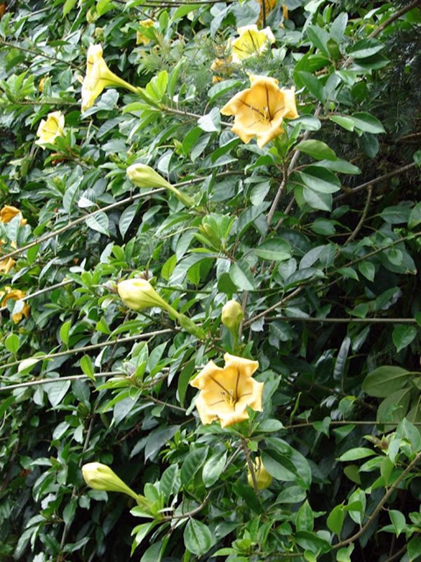 trepadeiras floridas Trombeta dourada