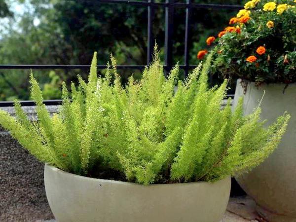 10 Plantas fáceis de cuidar que gostam de Sol - aspargo pluma