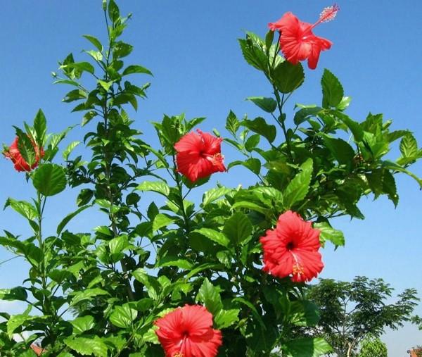 planta de sol - hibisco