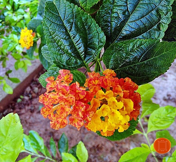 planta de sol - Lantana