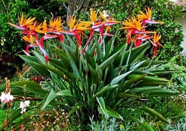 strelitzia ou ave do paraíso planta