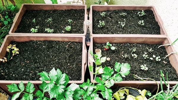 horta caseira - mudas crescendo