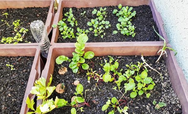 horta caseira - crescimento