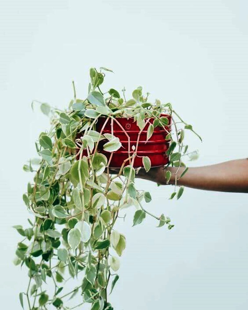 planta de sombra - peperômia