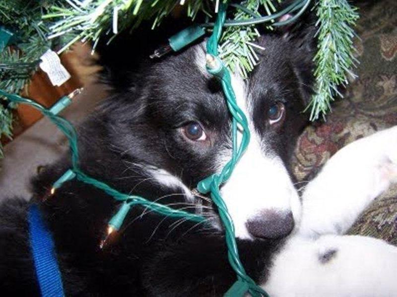 cachorro e fiação de natal
