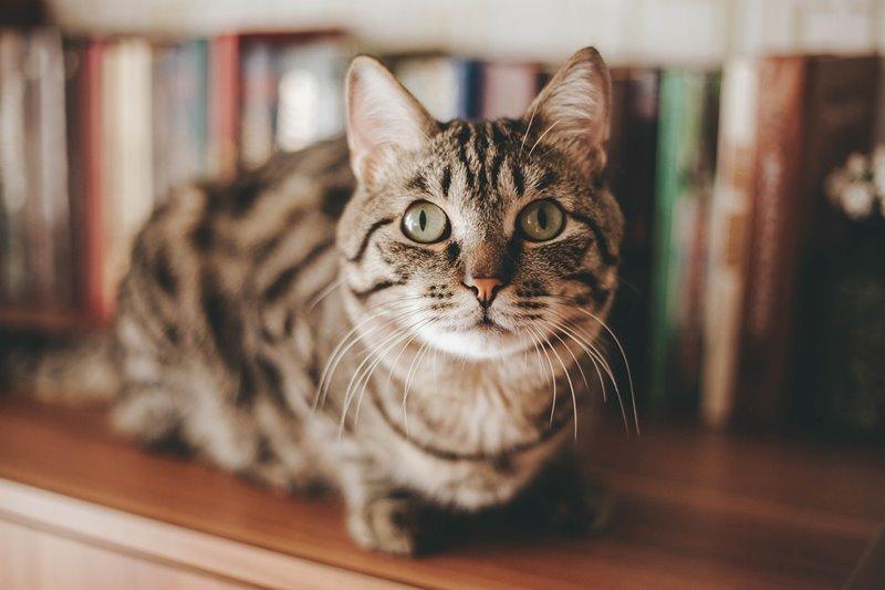 gato na estante