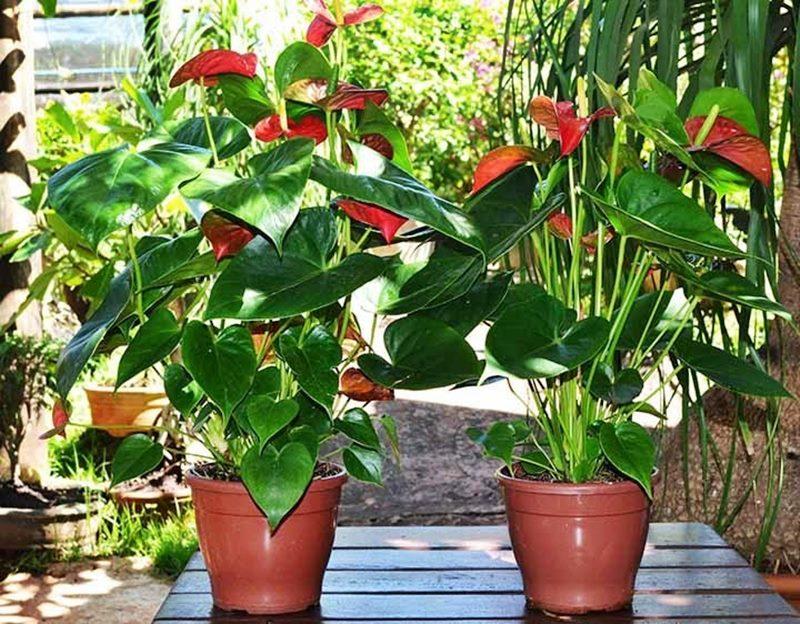 Planta de Sombra - antúrio