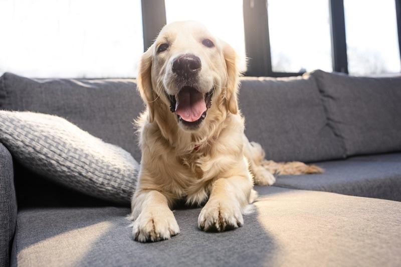 cachorro em sofá