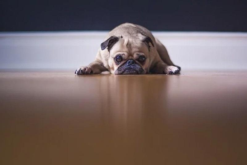 cachorro em piso