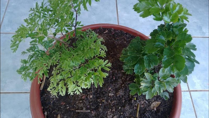 planta de sombra - árvore da felicidade